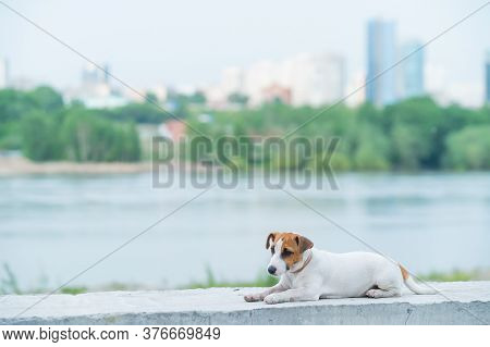Frightened Puppy Lies On The Parapet. Scared Dog Jack Russell Terrier On The River Bank Against The