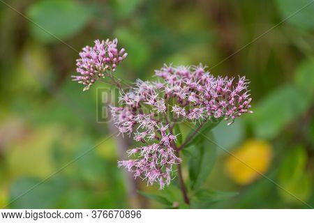 Boneset Flowers Closeup Macro. Medical Herbs Series