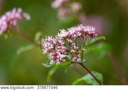 Boneset Flowers Closeup Macro. Medical Herbs Series.