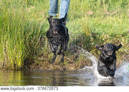 Two Pedigree Black Labradors Jumping Into The Water Together