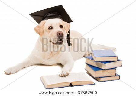 clever dog pale-yellow labrador retriever with hat of the bachelor reading books on isolated white background poster