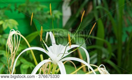 Fully Bloomed White Cape Lily Or Crinum Asiaticum In The Garden. Budding White Spider Lily.
