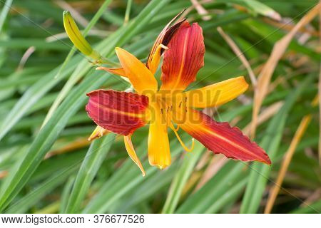Orange And Yellow Tiger Daylily Flower In A Garden During Summer