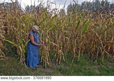 On A Family Farm, A Female Agronomist Controls The Quality Of The Corn To Determine The Date Of Harv