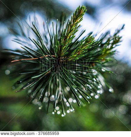 Close-up image of a raindrop on a pine branch