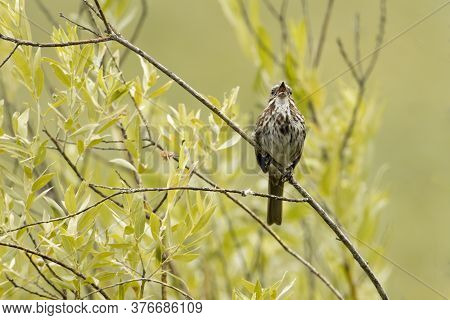 A Song Sparrow Perched On A Twig Is Calling Out In North Idaho.