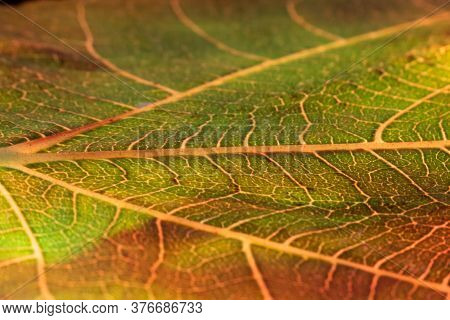 Backlit Green And Golden Leaf. Detail Of Veins Background With Shallow Depth Of Field And Selective
