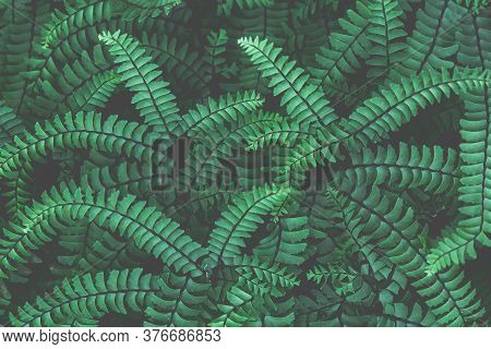 Fresh Ornamental Leaves Background. Abstract Emerald Background. Fern Leaves Close-up. Green Fronds.