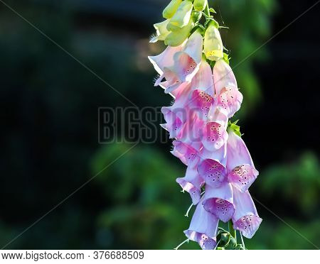 Beautiful Digitalis Flower Close Up In White And Purple Color