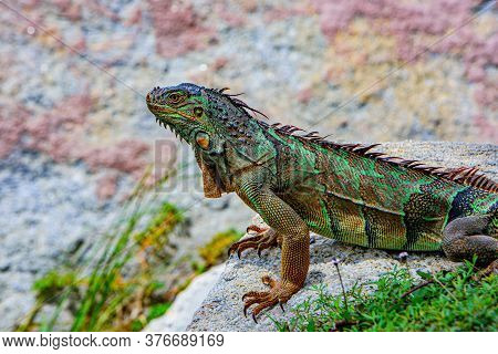Iguana Dragon. Green Iguana, Also Known As The American Iguana, Herbivorous Species Of Lizard Of The