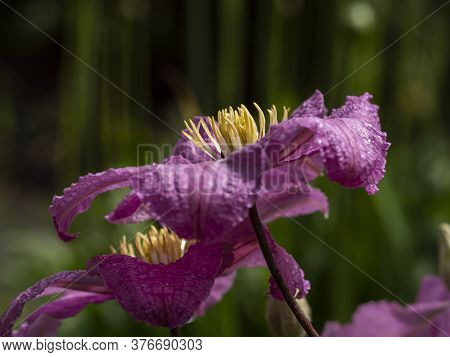 Closeup Of The Pink Petals And Yellow Stamens Of Beautiful Clematis Flowers In A Garden