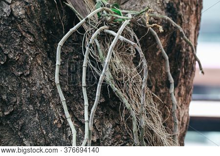 Close Up Natural Orchid Roots In The Active Phase Of Growth.orchid Roots Grow On Large Trees In Publ