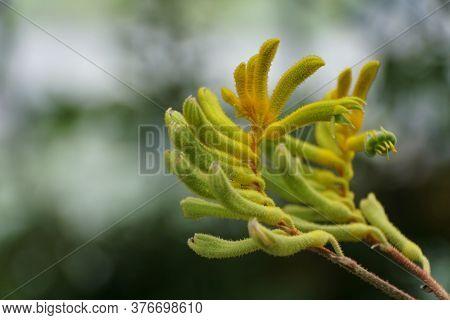 Tiny Flowers Of Kangaroo-paws 'big Roo Yellow'