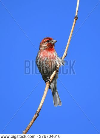 Red House Finch Standing On Twig Against Blue Sky