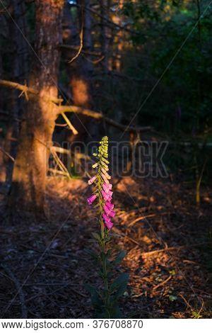 Beautiful Purple Digitalis Or Foxglove Flowers In A Strip Of Golden Sunlight In A Forest. High Quali