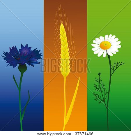 Camomile, Ear And Cornflower