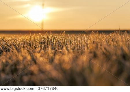 Winter Weather In An Agricultural Field Where Winter Cereals Are Grown, Small Plants During Frosts,