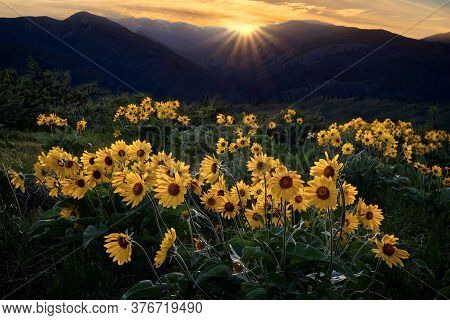 Arnica Or Sunflowers In Full Bloom In Alpine Meadows In North Cascades Mountains Near Winthrop. Wash