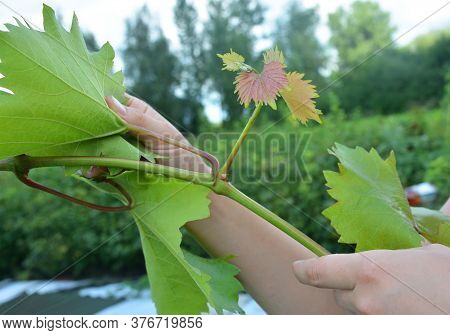 A Gardener Is Pruning Grape Vines In Summer By Removing Unnecessary Side Shoots, Cutting Thin Green