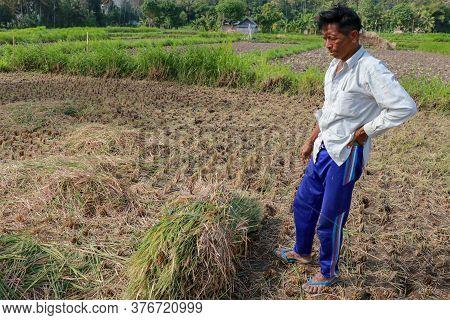 Farmers Harvesting Rice Field. Threshing Rice, Farmer Manual Rice Harvest. An Elderly Balinese Man T