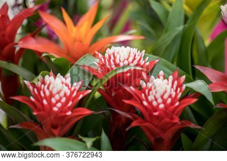 The Red Markle Bromeliaceae Guzmania Flower From The Heart Of The Brazilian Rainforest