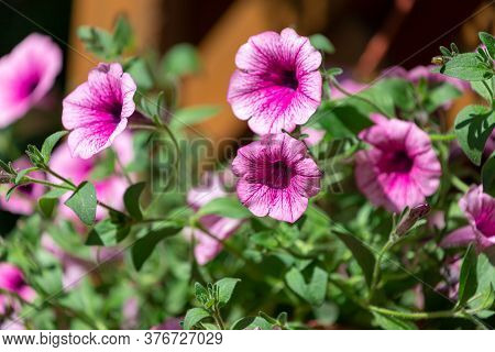 Petunia Flowers Bloom, Petunia Blossom, Petunia Flowers In Garden.close-up Of A Flowerbed With Multi