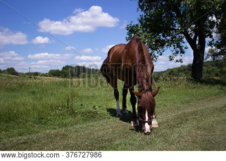 Young Brown Horse Eats Grass On A Sunny Summer Day Near A Tree. An Even-toed Ungulate Grazes In A Fi