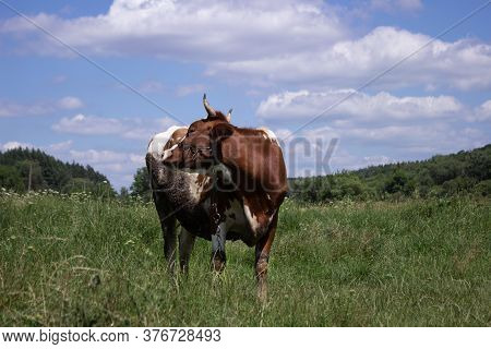 White-brown Cow Grazes In A Meadow And Drives Away Annoying Flies In Clear Weather Summer Sunny Day,