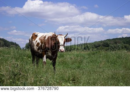 White Brown Cow Grazing In A Meadow In Clear Weather Summer Sunny Day, Sky With Clouds