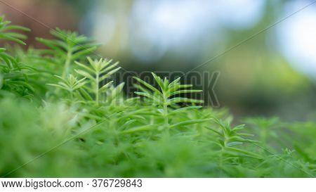 Fresh Greenery Foliage Of Needle-like Leaves Of Sedum Angelina Plant Or Stonecrop Spreading On Blurr
