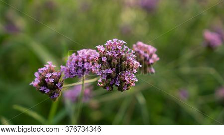 Field Of Purple Tiny Petals Of Verbena Flower Blossom On Blurred Green Leaves, Know As Purpletop Ver