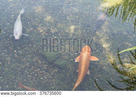 Carp Fish In A Decorative Garden Lake