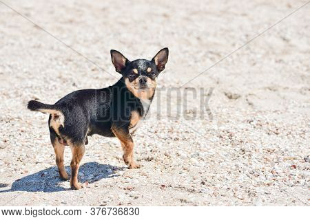 Chihuahua Dog In The Summer On The Sand. Cute Black Chihuahua Puppy.