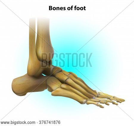 Bone Structure Of The Foot. Human Anatomy. Vector Illustration.