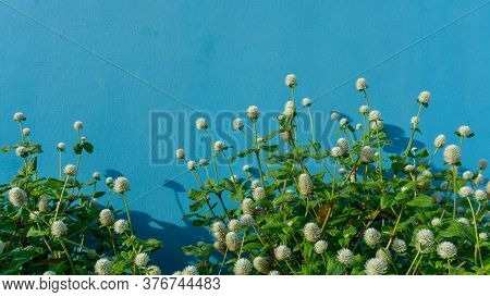 Branches Of White Petals Of Pearly Everlasting Flower Blossom On Greenery Leaves, Blue Color Concret