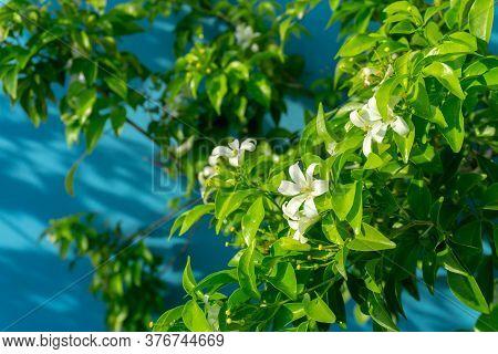 Prettyl White Pitals Of Orange Jessamine Blooming On Green Leaf Background Under Sunlight, Tropical