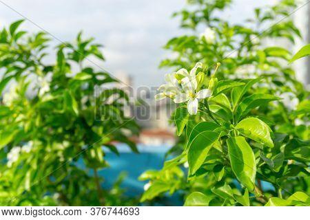 Prettyl White Pitals Of Orange Jessamine Bloosom On Green Leaf Background Under Sunlight, Tropical P