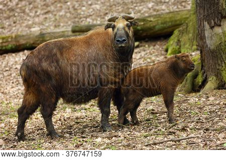 The Mishmi Takin (budorcas Taxicolor Taxicolor), Female With Cub In Forest Among Trees. An Endangere