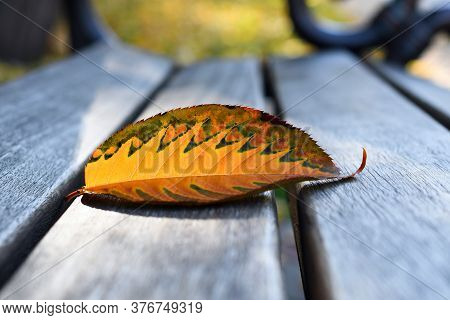 Lonely Sacura Autumn Leaf Closeup On The Gray Wooden  Bench