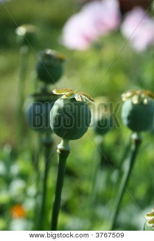 The Capsule With The Seeds  Of The The Poppy Flowers.