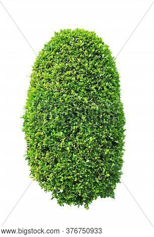 Greenery Ficus Shrub Plant Isolated On White Background , Green Leaves Bush Di Cut With Clipping Pat
