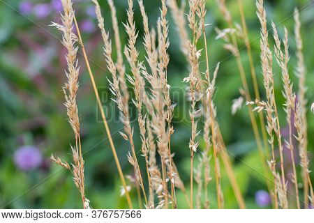 Closeup Picture Of Wild Grass With A Green Blurry Background. Picture From Scania In Southern Sweden