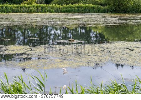 A Heron Bird In A Lake. Reflections In The Water. Green Bushes In The Background. Picture From Scani