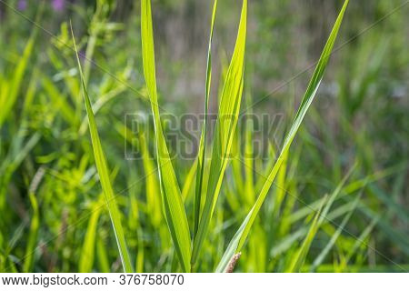 A Closeup Picture Of Backlit Green Grass. Beautiful Green Colors. All Green Blurry Background. Pictu