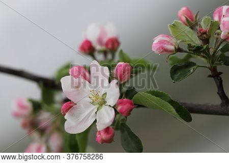 Apple Blossom In Spring With White Pink Flowers, Beautiful Spring Time, Spring Apple Blossom