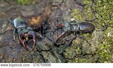 A Pair Of European Stag Beetle Lucanus Cervus On A Tree