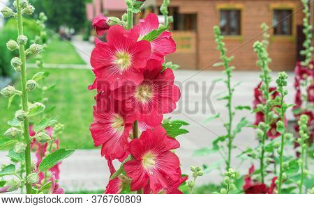 Red Flowers Of Mallow (lat. Alcea Rosea) On The Background Of A Wooden Rural House.