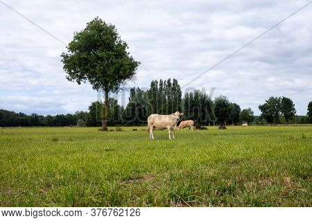 White Cow In The Field, Cow Raised For Fattening, Bovine Originating In France, Rustic Cattle Breed,