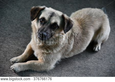 Cute Dog With Begging Brown Eyes And Gray Fur. Senior Dog Pooch Lay On Floor And Looking Into Camera
