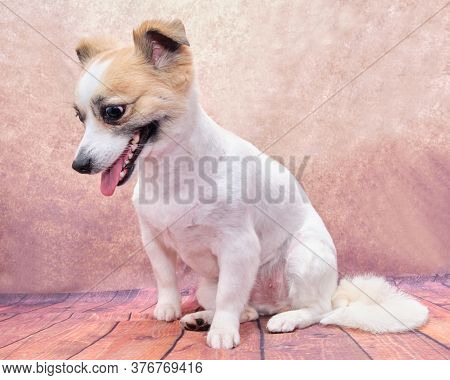 A Cross With A Jack Russell Terrier, The Dog Sits On A Vintage Background With Its Tongue Hanging Ou
